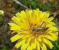 Bush Cricket Nymph. Tettigoniidae (32015478692).jpg