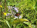 Butterfly 3 at St Marks NWR.JPG