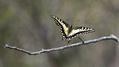 Butterfly on Branch (9423252987).png