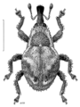 COLE Curculionidae Zeacalles flavescens.png