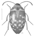COLE Leiodidae Zearagytodes maculifer.png