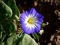 CONVOLVULUS TRICOLOR - TORÀ - IB-814 (Campanera tricolor).JPG