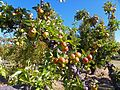 CSIRO ScienceImage 11394 Apple tree.jpg