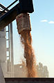 CSIRO ScienceImage 3627 Feed wheat being loaded into truck.jpg