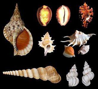 Caenogastropoda - Image: Caenogastropoda various examples 2