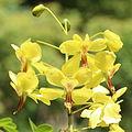 Caesalpinia decapetala var. japonica flower.jpg