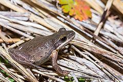 240px cajun chorus frog (pseudacris fouquettei)