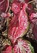 Caladium 'Blushing Bride' Leaf.JPG