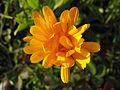 Calendula officinalis 0068.jpg