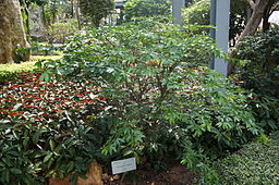 Calliandra angustifolia or Calliandra sodiroi