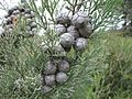 Callitris roei Cypress pine Mount Ridley NR XII-2010.jpg
