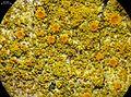 Caloplaca epiphylla - Flickr - pellaea (1).jpg