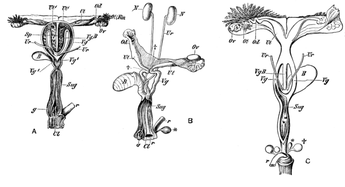 Cambridge Natural History Mammalia Fig 048.png