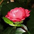 Camellia japonica 'Darsii' Kiev.jpg