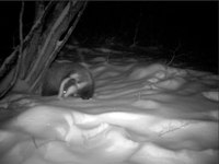 Файл:Cameratrap badger in the snow in Bulgaria.webm