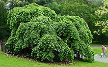Camperdown Elm Prospect Park Brooklyn.jpg