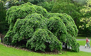 Elm - Camperdown elm (''Ulmus'' 'Camperdown'), cultivated in Prospect Park, Brooklyn, New York