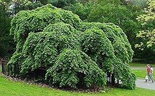 <i>Ulmus glabra</i> Camperdownii Elm cultivar