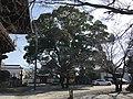 Camphor tree in Zendoji Temple.jpg