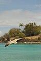 Caneel Bay Seagulls By Caneel Beach 16.jpg