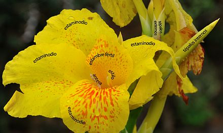 Canna: tépalos, estaminodios, estambre fértil petaloideo, estilu petaloideo.
