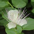 Capparis spinosa-IMG 4420.jpg
