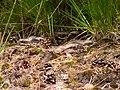 Caprimulgus europaeus no.2 nightjar nachtschwalbe.jpg