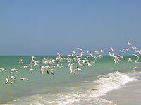 Captiva terns2.jpg