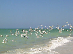 Captiva Island - A flock of Royal Terns in flight above the western beach of Upper Captiva Island