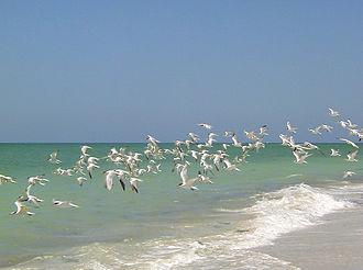 Captiva Island - A flock of Royal Terns in flight above the western beach of Upper Captiva Island