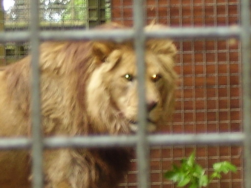 File:Captive barbary lion.jpg - Wikimedia Commons