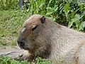 Capybara Hydrochoeris hydrochaeris in Moscow Zoo.JPG