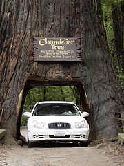 Tourist use of Coast Redwood by a private owner, Leggett, California.