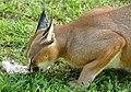 Caracal (Caracal caracal) eating chicken ...(captive specimen) (46701779772).jpg