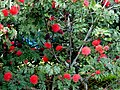 Carbonero rojo (Calliandra hematocephala) (14702215852).jpg