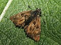 Carcharodus alceae - Mallow skipper - Толстоголовка большая мальвовая (39192893080).jpg