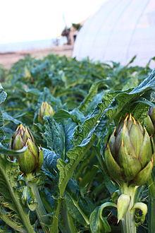 Carciofo, la varietà con le spine, diffusa in Liguria e Sardegna