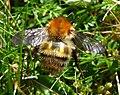 Carder Bumblebee (26229533515).jpg