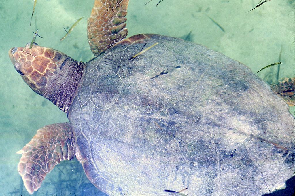 File:Caretta caretta (loggerhead sea turtle) (Bimini, Bahamas ...