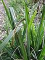 Carex pendula inflorescens (38).jpg