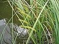 Carex rostrata.jpeg