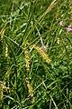 Carex vesicaria 1.jpg