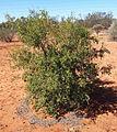 Carissa sprinarum ssp lanceolata habit.jpg