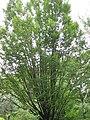 Carpinus betulus 01.jpg