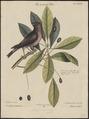 Carpodacus purpureus - 1700-1880 - Print - Iconographia Zoologica - Special Collections University of Amsterdam - UBA01 IZ16000331.tif