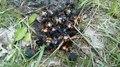 File:Carrion beetles hq.webm