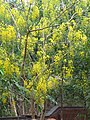 Cassia fistula flowers 1.jpg