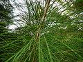 Casuarina equisetifolia 0013.jpg