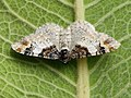 Catarhoe cuculata - Royal mantle - Ларенция бело-бурая (26067166007).jpg