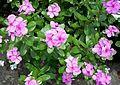 Catharanthus roseus (Flowers).jpg